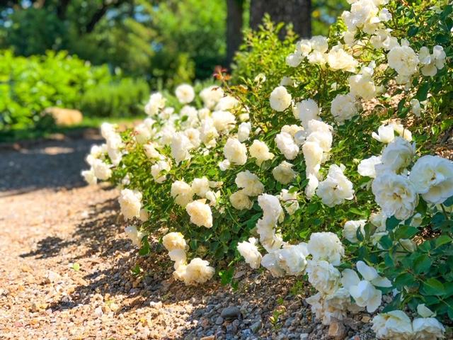 Cantinale Monteriggioni Rose